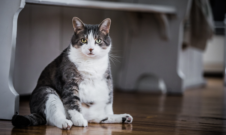 Diagnostic Use of Spec fPL for Pancreatitis in Cats