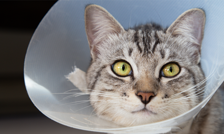 Use of Dipyrone in Cats After Ovariohysterectomy
