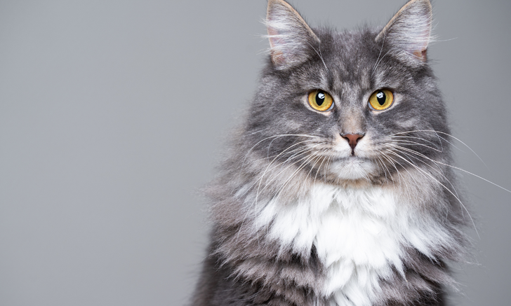 Energy Restriction & Nutrient Deficiency in Cats