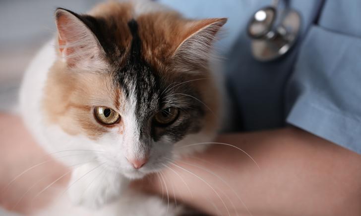 Supraventricular Tachycardia vs Atrial Fibrillation in Cats