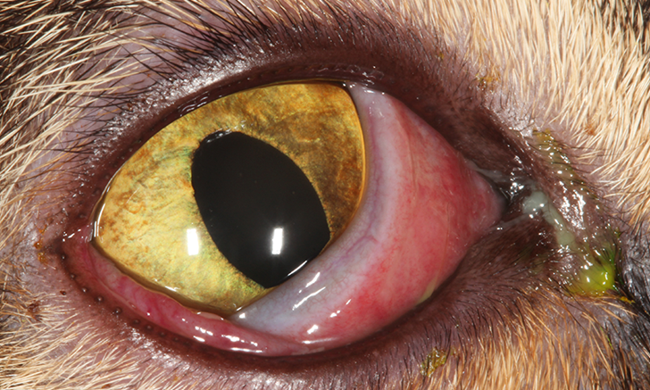 Top 5 Clinical Conjunctivitis Differences in Dogs & Cats