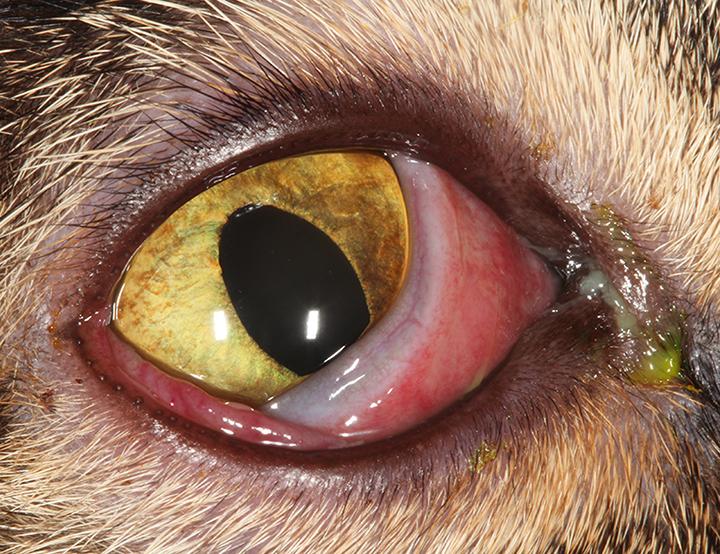 Feline herpesvirus-1 conjunctivitis. Conjunctival hyperemia, chemosis, mucopurulent ocular discharge, and nictitating membrane elevation are present.