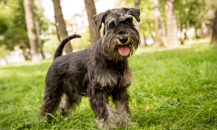 Effect of a Low-Fat Diet on Hypertriglyceridemia in Miniature Schnauzers