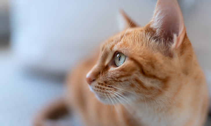 Neurologic Signs in Cats After Portosystemic Shunt Attenuation
