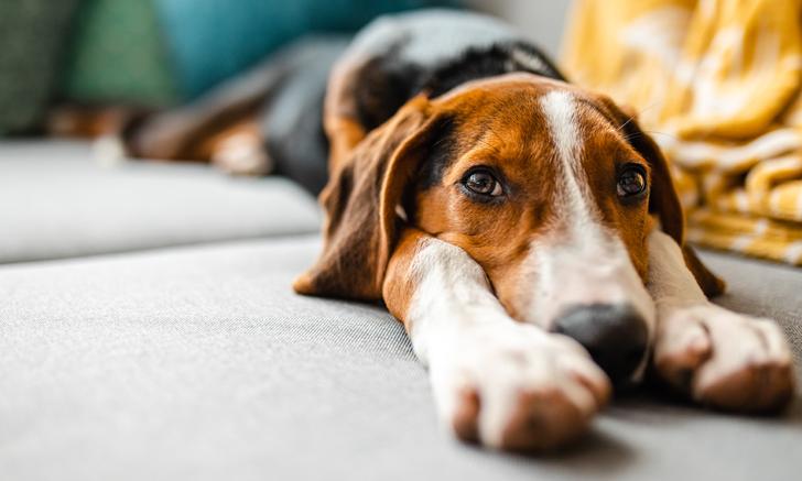 Gastroesophageal Reflux Disease in Dogs