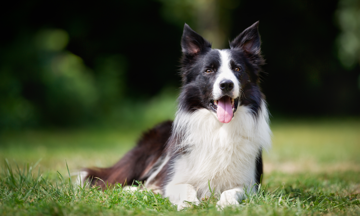 Nasal Swelling in a Border Collie