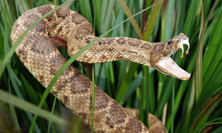 Acute Kidney Injury in Dogs with Pit Viper Envenomation