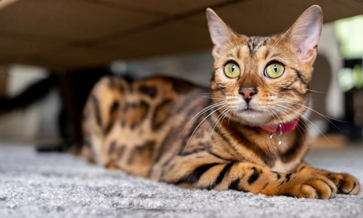 Differentiating Feline Inflammatory Airway Disease