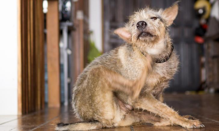 <em>Malassezia pachydermatis</em> Sensitivity in Dogs with Atopic Dermatitis