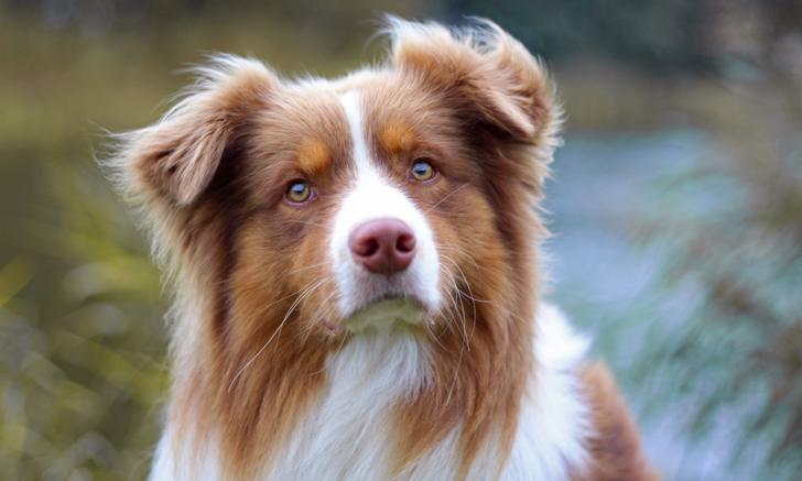 Apparent Degenerative Left Shift in an Australian Shepherd Dog