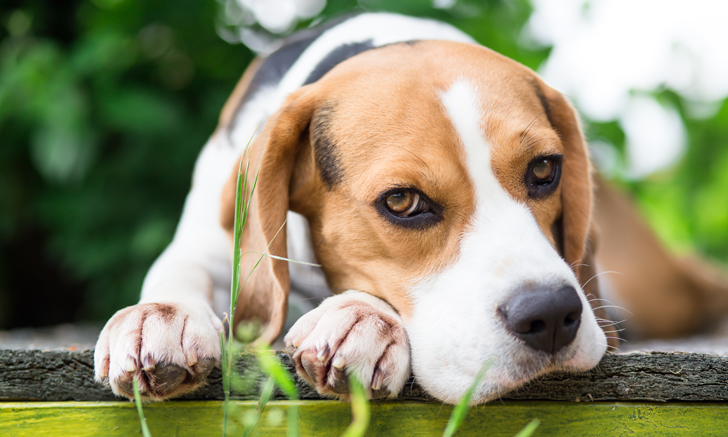 Neck Pain in a Young Beagle