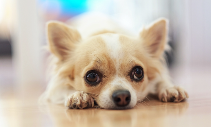 Using Vertebral Heart Score to Detect Cardiac Enlargement in Dogs