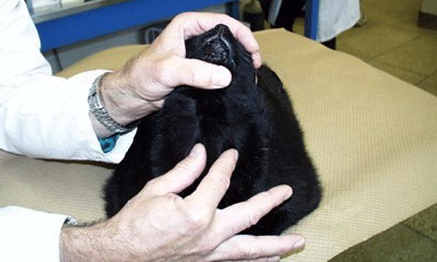 Feline Occult Hyperthyroidism