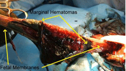 Cesarean Section in the Dog | Clinician's Brief