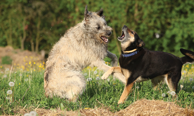 Canine Aggression Linked to Serotonin Concentration