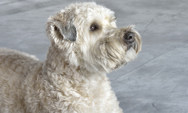 Small Intestinal Diarrhea in a Wheaten Terrier