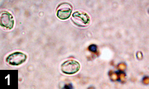 Recurrent Giardia Infection in a Dog