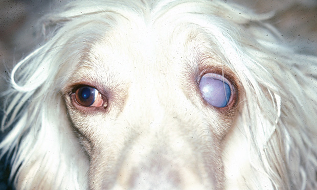 Differentiating Exophthalmos, Buphthalmos, & Proptosis