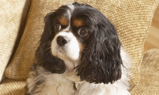 Intermittent Pain & Scratching in a Cavalier King Charles Spaniel
