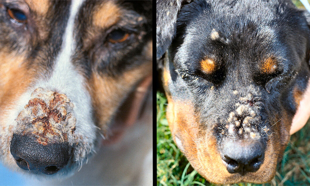 Canine Facial Dermatoses Challenge
