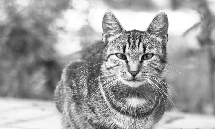 Acute-on-Chronic Kidney Disease in a Cat