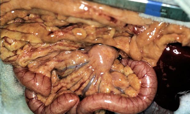 Pansteatitis (Yellow Fat Disease) in the Cat