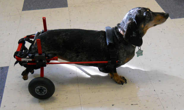 Canine Wheelchair Equivalents
