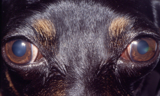 Exophthalmos in a Dog