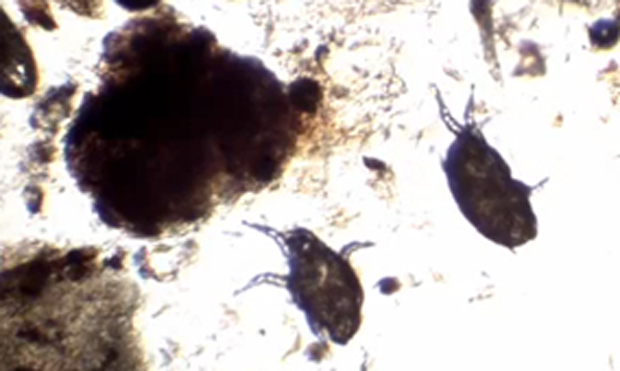 Quiz: How Well Do You Diagnose & Treat These Ectoparasites?