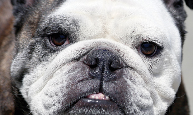 Perioperative Management of Brachycephalic Dogs