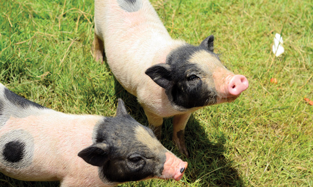 Environmental Enrichment for the Miniature Pet Pig