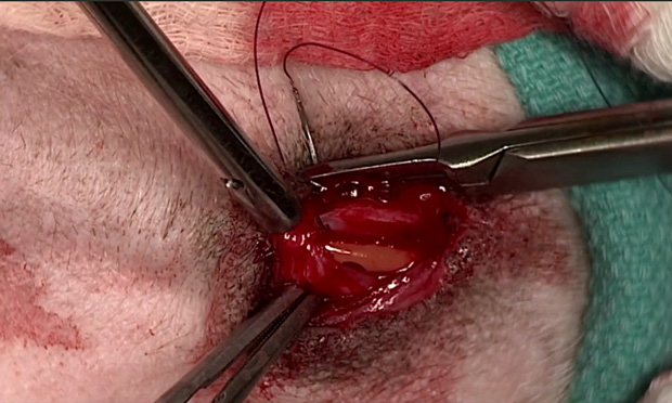 Surgeon's Corner: Cystotomy & Scrotal Urethrostomy