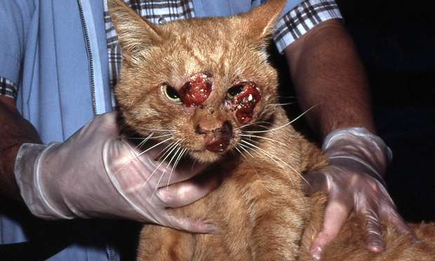Cryptococcosis in the Cat