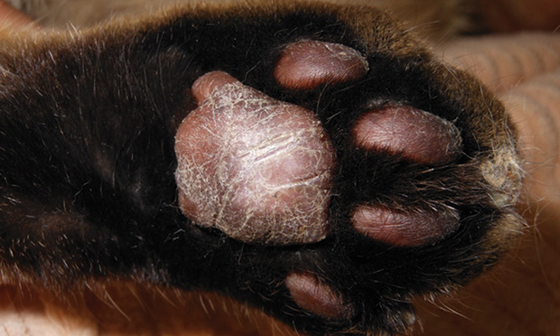 Feline Plasma Cell Pododermatitis