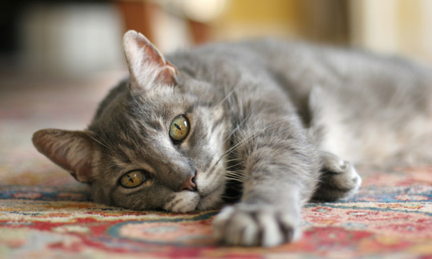 Quiz: AAFP Vaccination Guidelines for Household Cats