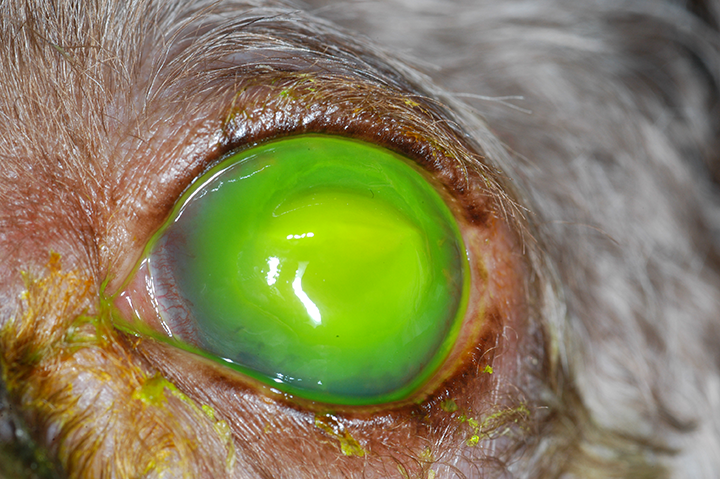 Corneal malacia or melting ulcer. These ulcers need to be managed aggressively to prevent corneal perforation. Images courtesy University of Tennessee, Knoxville, College of Veterinary Medicine