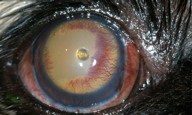 Key Points in Complicated Canine Corneal Ulcers
