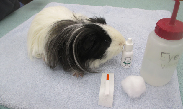 Corneal Ulceration in the Guinea Pig