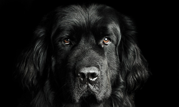 Newfoundland With Dermatologic Disease & Osteoarthritis