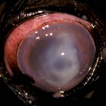 Oral Antibiotic For Dog Eye Infection