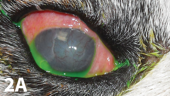 Right eye of a 14-year-old spayed English bulldog, demonstrating conjunctival hyperemia, superficial corneal vascularization, and diffuse corneal edema associated with KCS. The tear film is appropriate (note the fluorescein stain accumulating in the lacrimal lake) because of response to topical therapy; however, the ocular surface inflammation remains.