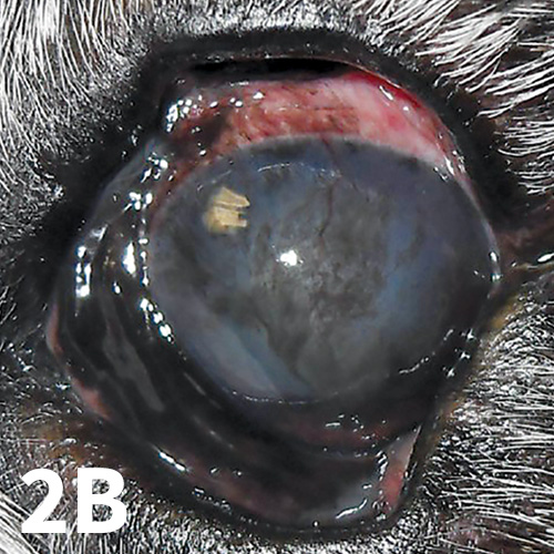Left eye of the same dog. Mucoid discharge and conjunctival hyperemia are demonstrated. Moderate corneal pigmentation is present axially, along with superficial vascularization and corneal edema and fibrosis (grayish appearance surrounding the dark pigment). The tear film is visibly appropriate in this eye as well because of a response to topical therapy, but the chronicity of tear film deficiency is evident in association with the described changes. The irregular yellow shape near the dorsomedial limbus is a reflection of the overhead lighting in the tear film.