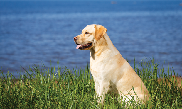 Chronic Cough in a 3-Year-Old Labrador Retriever