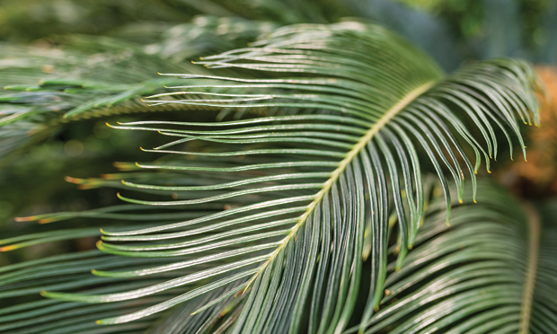 Sago Palm Toxicosis in Dogs