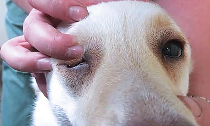 Diagnosing Canine Exophthalmos