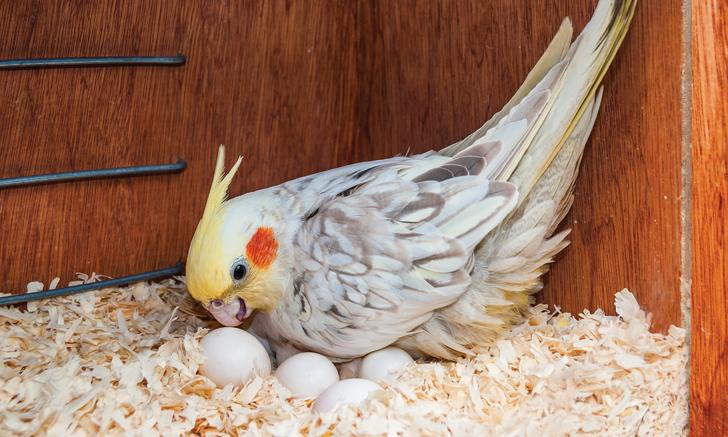 Egg Binding in Pet Birds