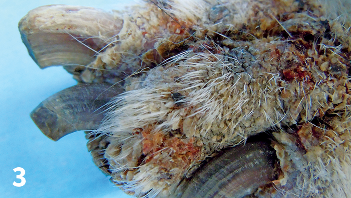 Demodectic pododermatitis in a 12-year-old neutered male terrier. Note the accumulations of crusts and alopecia affecting the skin of the carpus; the nails appear normal.