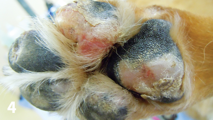 Depigmented and eroded patches on the footpads of a 12-year-old neutered male Akita with mycosis fungoides.