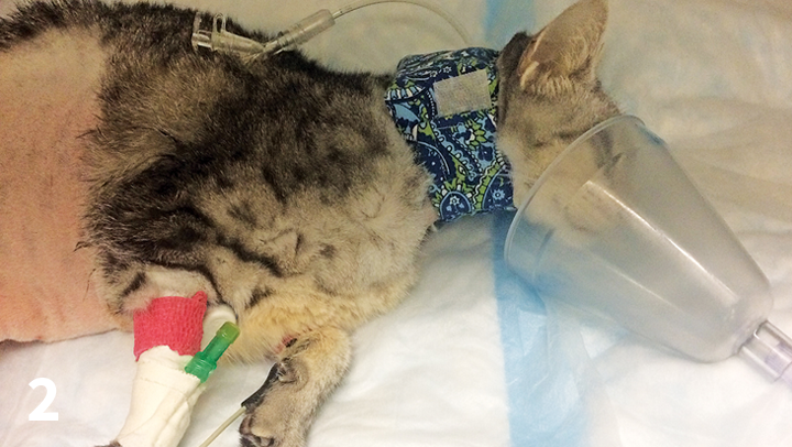 A cat receives supplemental oxygen via mask during recovery from anesthesia.