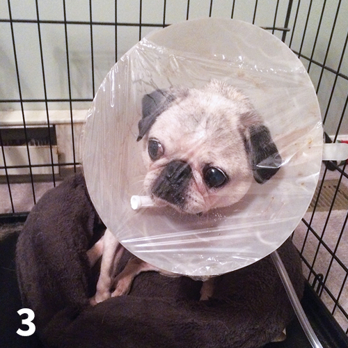 A pug receives oxygen supplementation via oxygen hood.